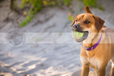 portrait of mixed breed red dog fetching ball on sand dune