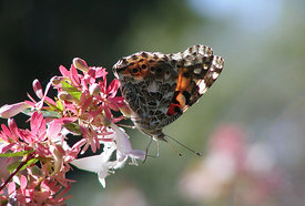 July - Red Admiral Butterfly