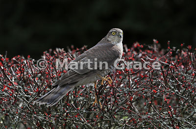 Juvenile male Eurasian Sparrowhawk (Accipiter nisus) perched on a garden Japanese Barberry (Berberis thunbergii atropurpurea), Cumbria, England