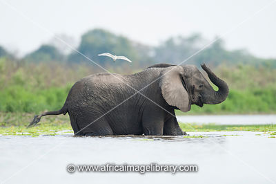 African elephant crossing the Rufiji River( Loxodonta africana africana), Selous Game Reserve, Tanzania