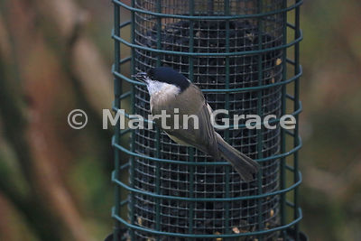 Marsh Tit (Poecile palustris) on garden peanut feeder, Cumbria, England