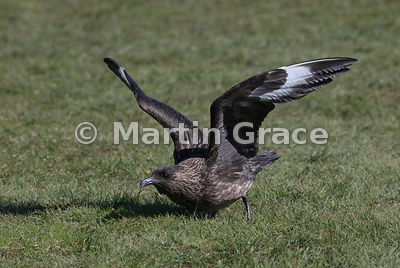 Great Skua (Bonxie) (Stercorarius skua, Catharacta skua) preparing to fly, Hermaness National Nature Reserve, Unst, Shetland