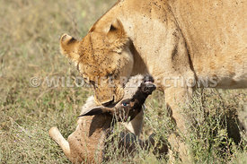 lioness_with_baby_wildebeest_kill_13