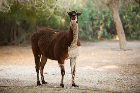 A Llama found wandering at the Sir Bani Yas Island wildlife reserve.