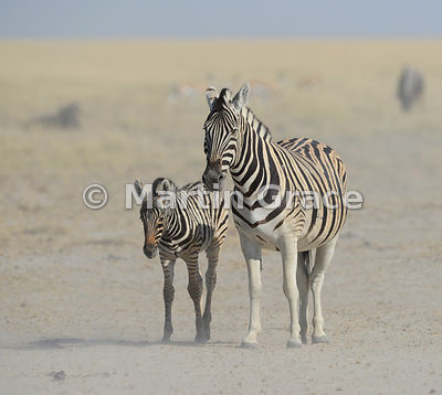Plains Zebra (Equus burchellii) mare with her foal, Etosha National Park, Namibia