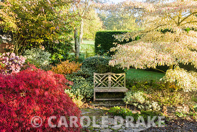 Seat surrounded by hebes, tiered Cornus controversa 'Variegata' and the autumn reds of Acer palmatum var. dissectum variety. Chiffchaffs, nr Bourton, Dorset, UK