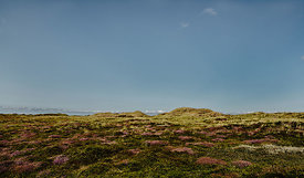 Heather on the dunes in Thy