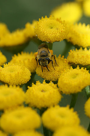 Colletes species
