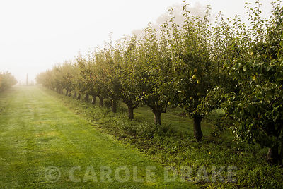 Fruit trees stretch away into the surrounding landscape on a misty autumn morning. Waterperry Gardens, Wheatley, Oxfordshire, UK