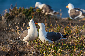Western Gulls Head Bobbying Display Prior to Mating