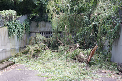 Large tree is uprooted by  a storm and blocks the entrance to a garage