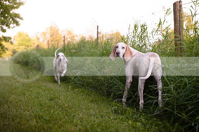 two large white hounds on summer grass path