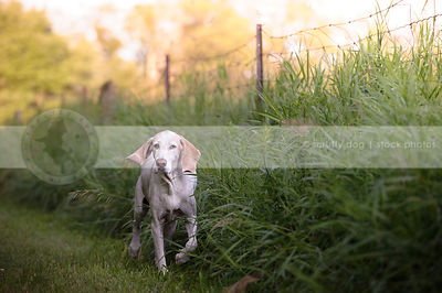 white hound with floppy ears running through grass