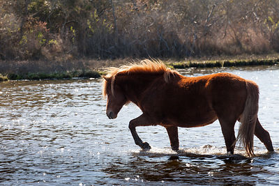 Wild horse (Equus ferus caballus) in wetlands in a finger of Sinepuxent Bay, Assateague Island, Maryland