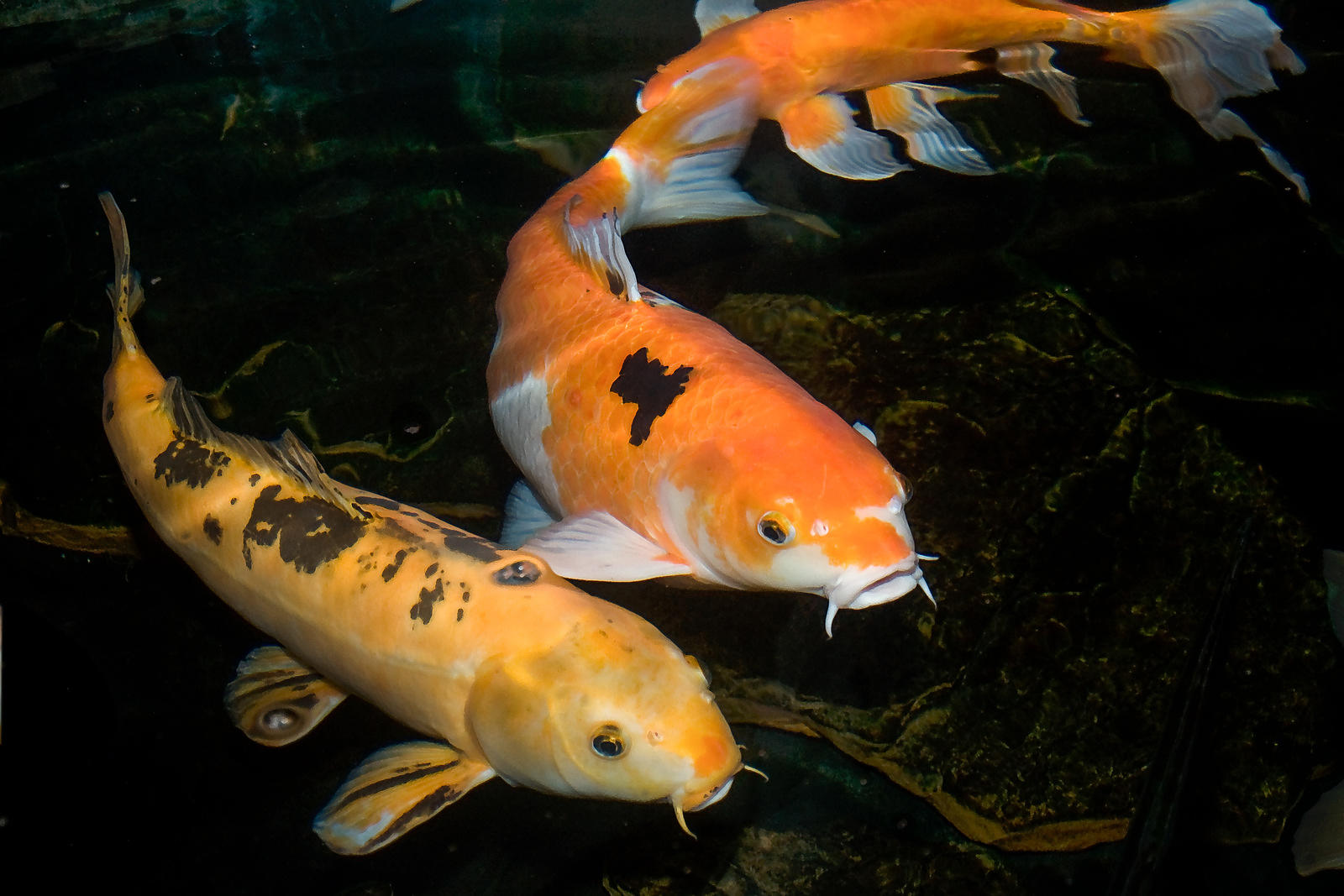 Image gallery japanese koi for Koi goldfisch
