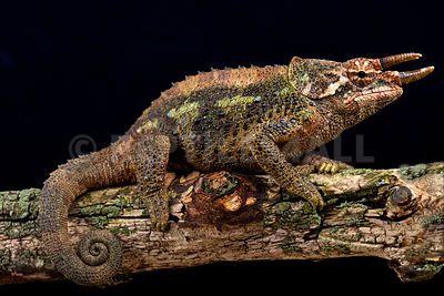 Werner's three horned chameleon (Trioceros werneri) photos