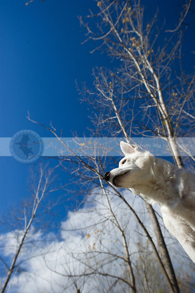 low angle photo of white jack russell against blue sky and trees