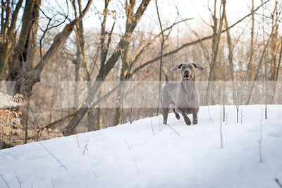 excited weimaraner dog pointing in forest clearing with snow