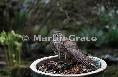 Juvenile male Eurasian Sparrowhawk (Accipiter nisus) standing in a plant pot, Lyth Valley, Lake District National Park, Cumbria, England