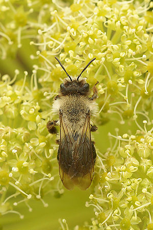 Andrena vaga females sipping nectar on Angelica sylvestris