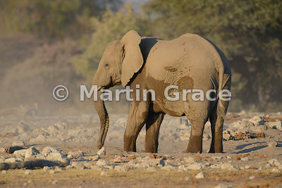 African Elephant (Loxodonta africana) dust-bathing, Etosha National Park, Namibia: Image 1 of 5