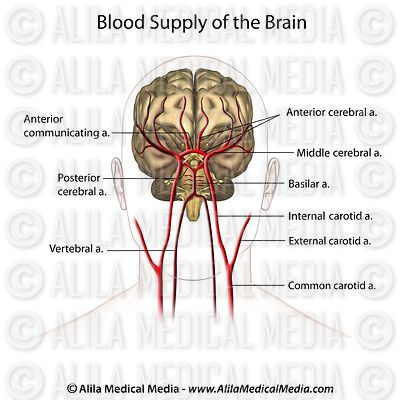 Blood supply to the brain, anterior view labeled.