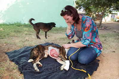 Alfie, a dog who was hit by a train, early in his six month recovery at the Tree of Life for Animals rescue center (tolfa.org.uk) near Pushkar, Rajasthan, India