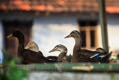 Ducks at a small lake in the town of Chingrihata, East Kolkata Wetlands, Kolkata, India.