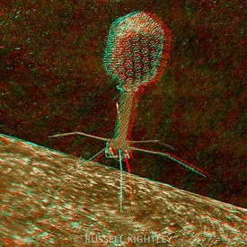 Anaglyph of Bacteriophage T4