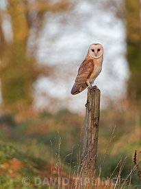 Barn Owl Tyto alba, North Norfolk January