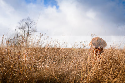 red setter dog hiding in deep field of dried grasses under sky