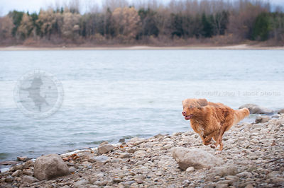 wet red toller dog running on lake shore beach sand and stones