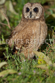 african_marsh_owl_dark_1