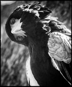 3934-Bird-Eagle_Laurent_Baheux