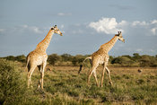 Giraffes in savanna