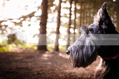 headshot of little black terrier dog in forest of pine trees