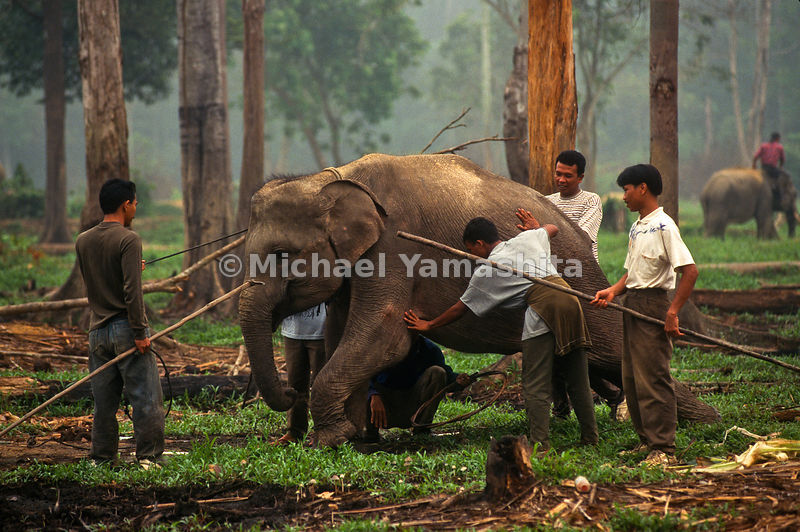 Elephants are a common form of transportation in the jungles of Indonesia.