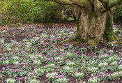 Cyclamen coum and snowdrops carpet the ground under a tree in the Winter Garden. Sir Harold Hillier Gardens, Ampfield, Romsey, Hants, UK
