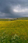 Storm clouds gathering over an upland wildflower meadow in the Yorkshire Dales, UK.