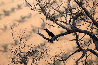 Bird in the Thar desert near Bhagwanpura village, Rajasthan, India