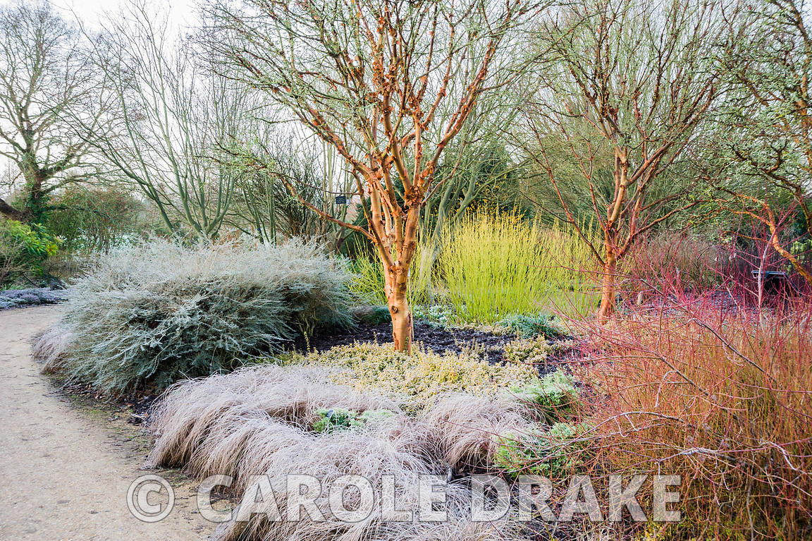 Acer giseum, the paperbark maple, surrounded by colourful cornus, grasses, euonymus and grasses. Sir Harold Hillier Gardens, Ampfield, Romsey, Hants, UK