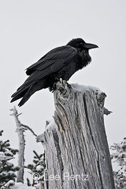 Common Raven (Corvus corax) perched on a dead tree on Hurricane Ridge, Olympic National Park, Olympic Peninsula, Washington, USA, March, 2009_WA_8170