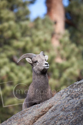 Bighorn Sheep_MG_6599