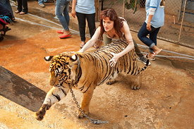 A tourist washing a tiger at Tiger Temple in Kanchanaburi, Thailand.