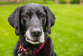 Senior Black Labrador Dog with Red collar