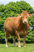 Limousin cattle out in pasture, early summer, Slaidburn, Lancashire, UK.