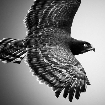 4882-Bird-Eagle_in_the_sky_Laurent_Baheux