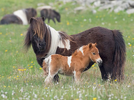Shetland Pony mother with foal spring Shetland