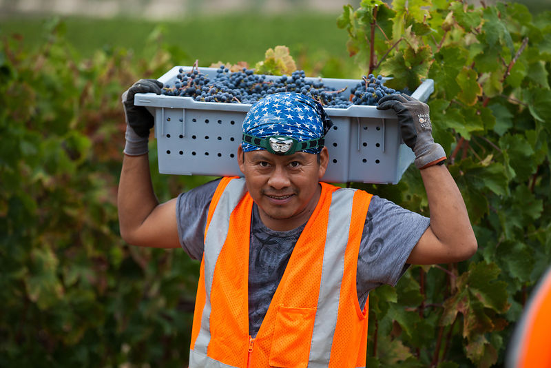 Editorial portrait of a young man harvesting grapes by Jason Tinacci