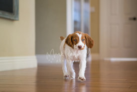Brittany Spaniel puppy walking through room